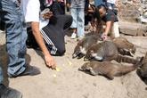 Около пирамиды обитают вот такие животные, похожие на енотов, охотно берут еду у туристов.