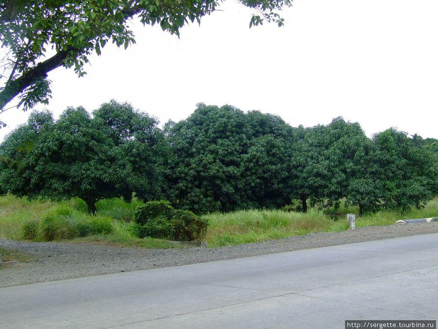 Увидели по дороге манговые деревья. К сожалению манго сейчас не сезон