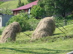 В условиях влажного лета, так сушат сено.