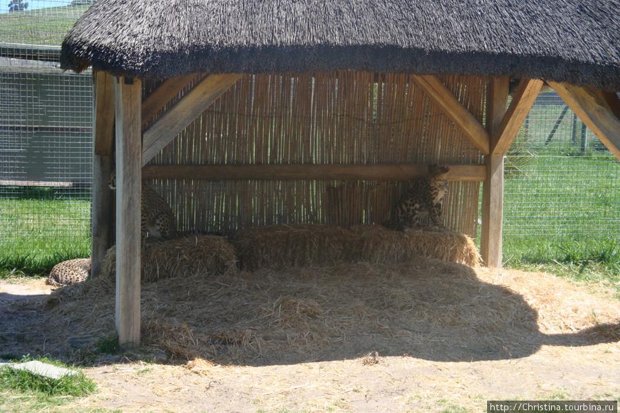 На винной ферме живут два леопарда. Недавно у них родился детеныш. Говорят это уникальный случай, так как леопарды в неволе не размножаются.
