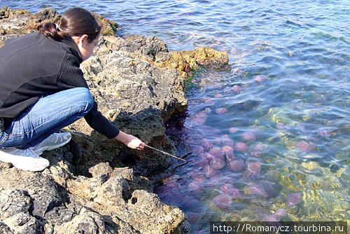 Средиземноморские медузы.