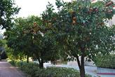 Калифорния. В феврале здесь +20, поэтому на улицах КалТеха растут мандарины.