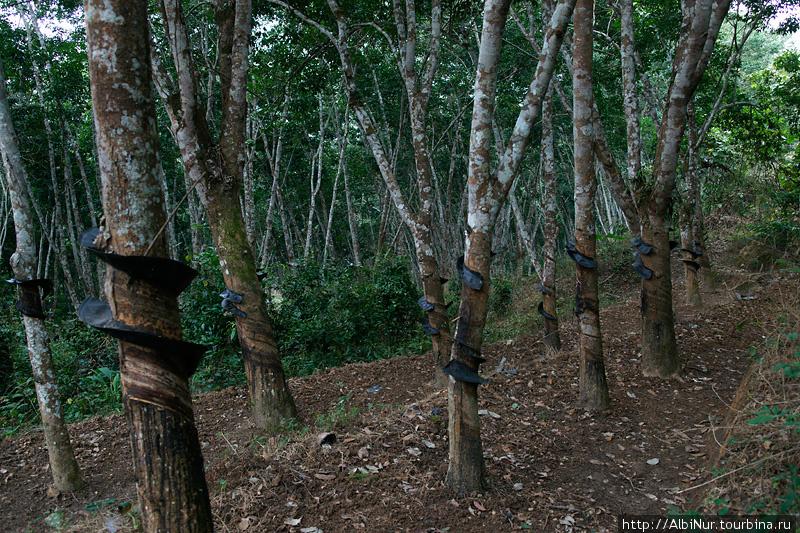 На юге Китая множество каучуковых плантаций, появившихся со времени правления Мао, фанатично внедрявшим в жизнь новые отрасли. Для них китайцам здесь приходится расчищать дремучие джунгли, где деревья сплетены лианами в непроходимые стены.