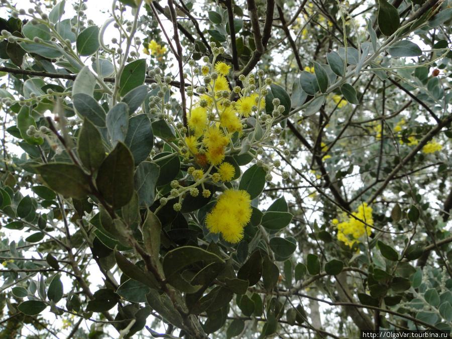 Огромные пушистые желтые шарики, колышась от ветра, кивали нам с веток, словно говоря, что пришла весна