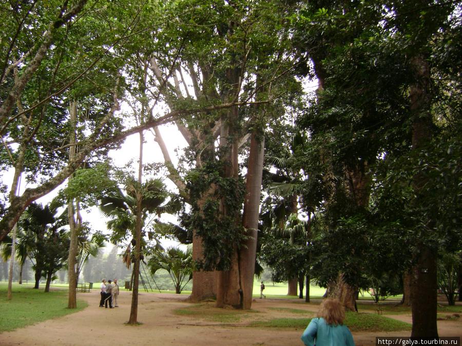 Слоновье дерево