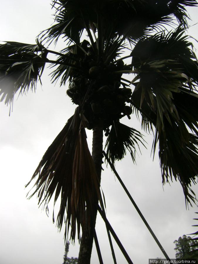 Двойной кокос