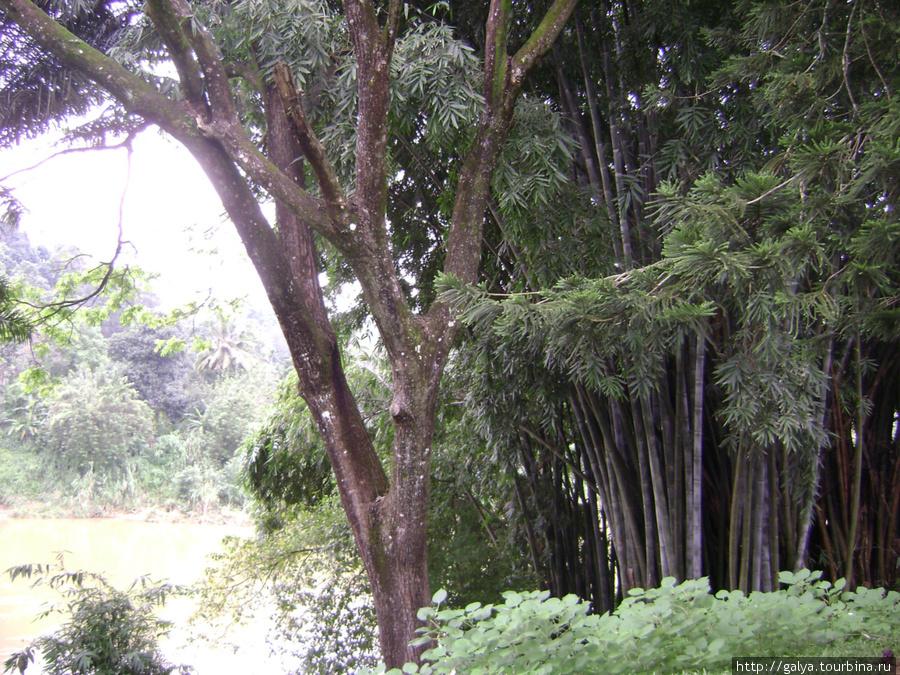 Королевский бамбук