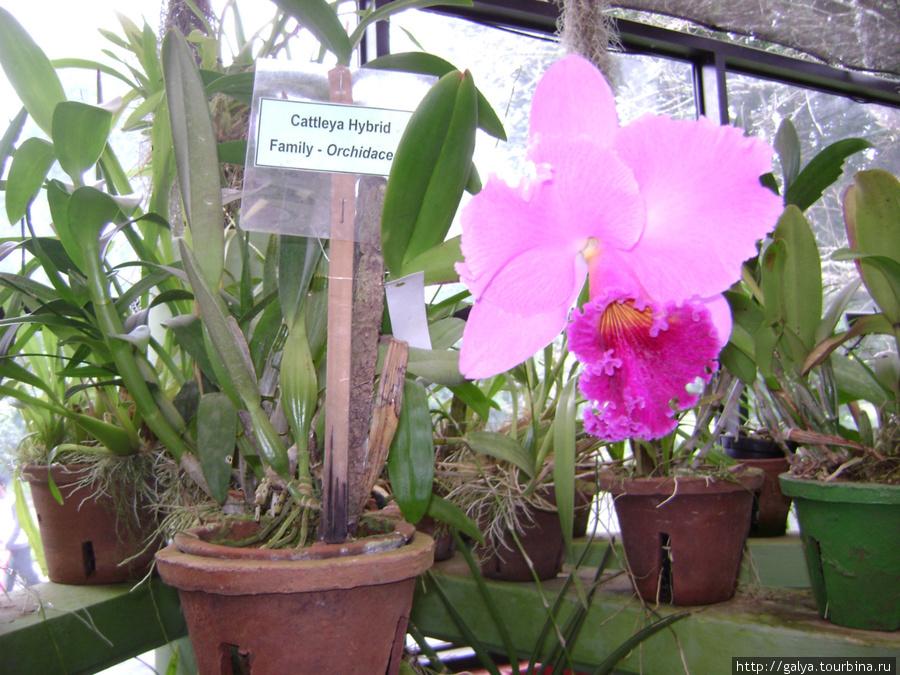 Самая большая орхидея в мире