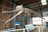 Скелет Кашалота.