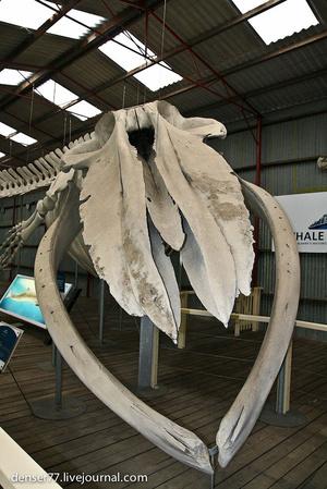 Скелет 22х метрового Голубого кита