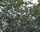 обезьяна чернобурка