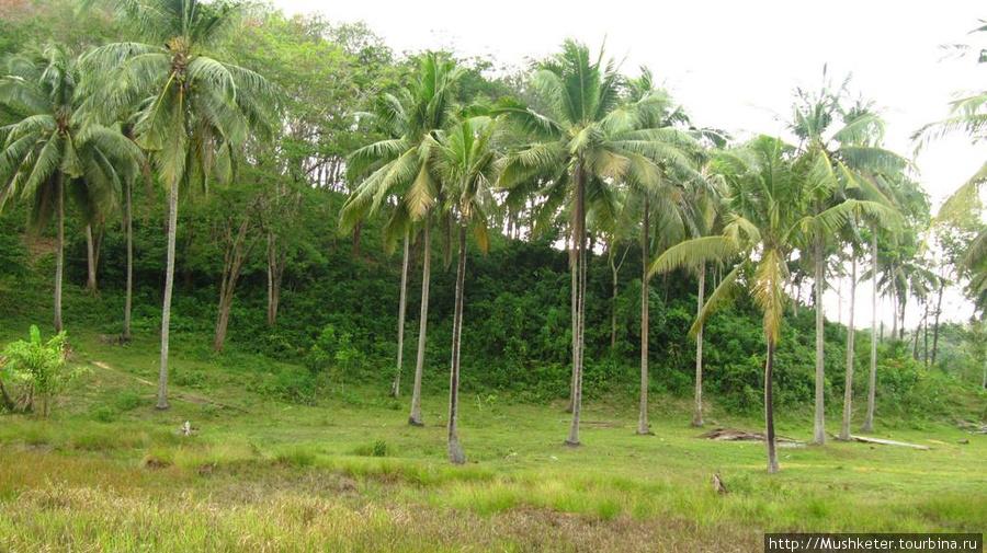 Это кокосовые пальмы на побережье. Кокосов под ней не валялось, попробовать не удалось.