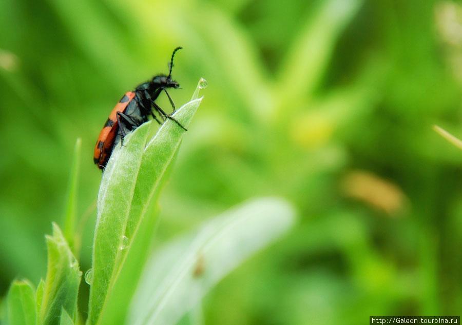 Нарывники (Meloidae) ярко