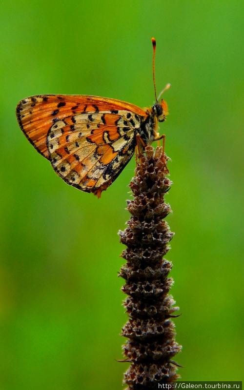 Булавоусые, или дневные бабочки (лат. Papilionoidea, англ.