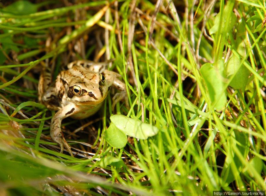 Травяная лягушка (лат. Ra