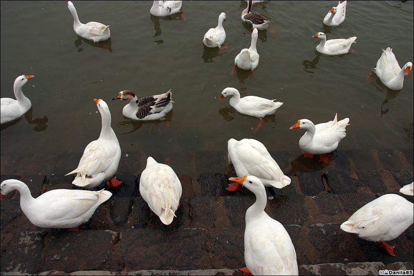 В озере разводят рыбу и вот такую декоративную птицу типа гусь лапчатый. Чандигарх, Индия