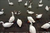 В озере разводят рыбу и вот такую декоративную птицу типа гусь лапчатый.