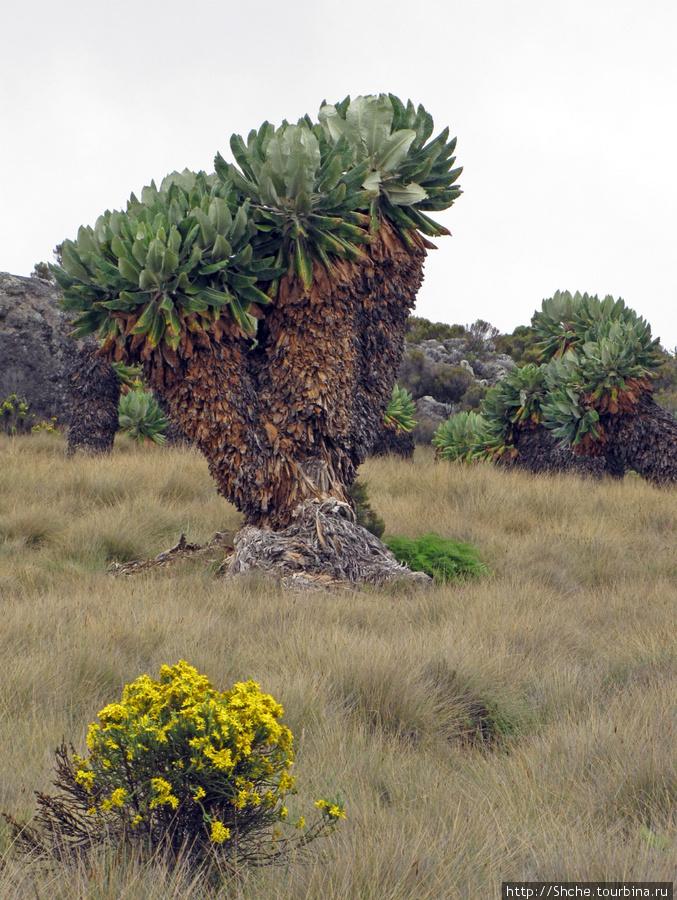 Senecio kilimanjari. 100% эндемик, произростающий только на Кили на высотах от 3200 до 4000 метров.