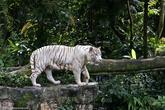 В Сингапурском зоопарке мы провели почти целый день. Говорят, это один из лучших зоопарков в мире и я склонен в это поверить. Звери содержатся в прекрасных условиях и не вызывают приступы жалости как в некоторых зоопарках. Здесь нет никаких клеток, животные содержатся в просторных вольерах, отгороженных от посетителей глубокими рвами или изгородью.