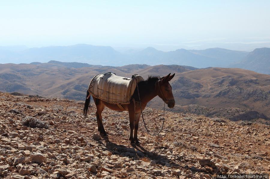 флегматичный ослик на горе Немрут