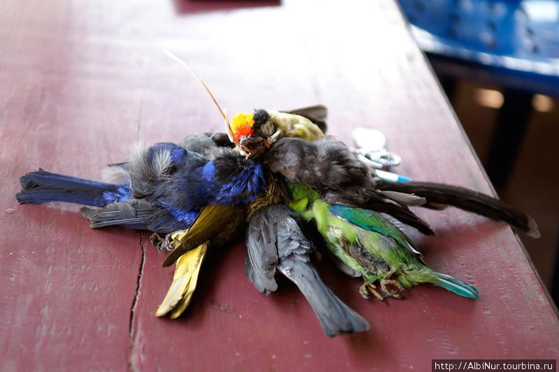 Что делают с этими крохотными яркими птичками, мы не поняли. Есть в них нечего, разве что сувениры делают.
