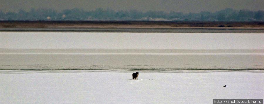 На краю льда увидели животное, только через оптику рассмотрели, что это волк... или койот.
