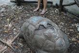 Смотрители утверждают что цифры на спине означают номер. Но 185 лет для черепахи — многовато.