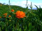 В высокогорной тундре лето приходит поздно и цветы которые в степи цветут весной, здесь зацветают в июле. Кстати осень зато сюда приходит рано и мы это ощютили на себе.