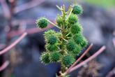 говорят, что из этого растения делают виагру