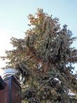 эта елочка растет прямо на центральной улице.