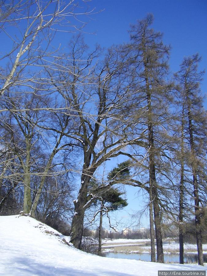 16.03.2010. Минск. Лощицкий парк. Обручальный дуб