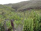 Одни из первых Senesio kilimanjari, выделяются на общем фоне.