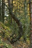 Карельский лес совсем не похож на подмосковный. Шагая по мягкому мху, создается впечатление, что идешь по перине. Все ветки ближе к земле покрыты причудливым мхом.
