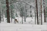 А один раз к нам в гости пришел олень, правда добежать до него было довольно проблематично.