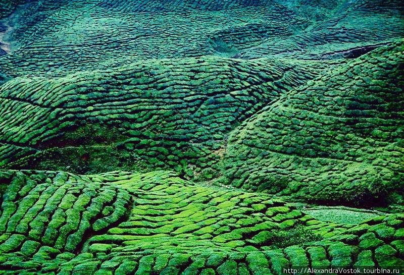 очарование чайных плантац