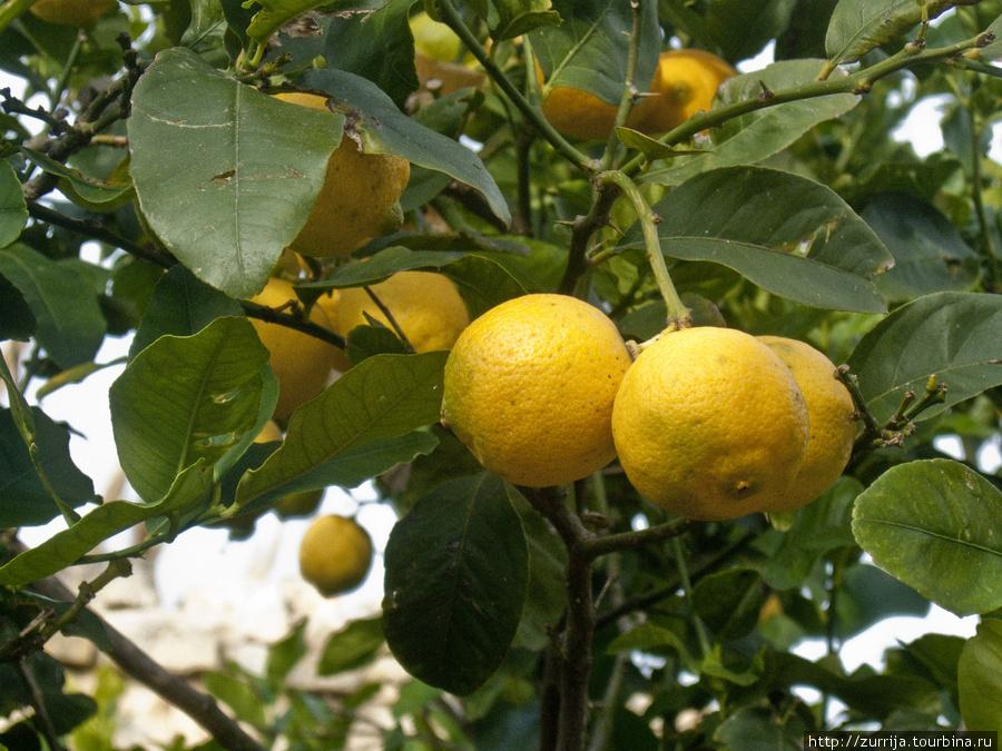 Лимоны (Мальта)