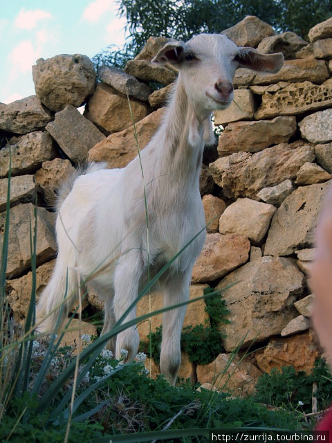 Козлик (Вид Бассаса, Зурри, Мальта)
