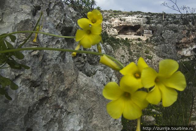 Козья кислица, она же инглиза (Вид иль-Асель, Мальта)