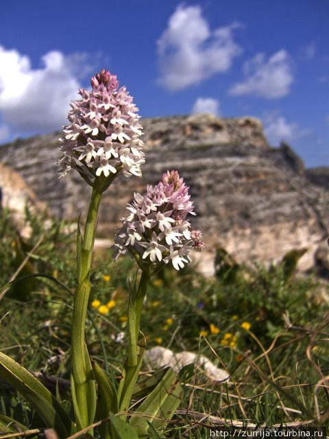 Пирамидальная орхидея (эндемик) (Голубой Грот, Зурри, Мальта)