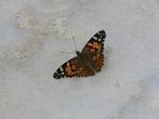 Залетная бабочка