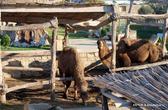 Верблюды в хозяйстве
