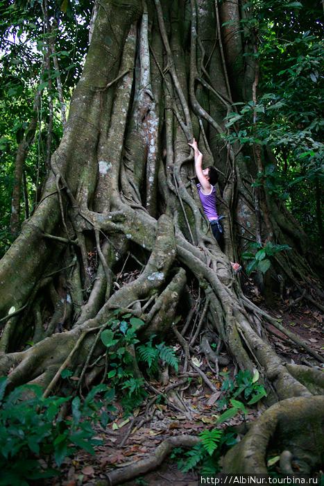 Огромные деревья впечатляют не только величиной, но и удивительной структурой. Некоторые стволы как будто сплетены из сотен более мелких деревьев, другие поражают складками, похожими на стены у основания ствола, за которые можно заехать на велосипеде.
