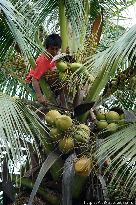 Кокосовые пальмы в сущности никому не принадлежат, если не огорожены на плантациях или не растут на территории частных домов. При желании можно срубить кокос, другой. Рубят их, конечно, местные жители, туристу на пальму не забраться, да и не ходят туристы там, где растут кокосы. Под пальмой лучше не стоять, падающий с десятиметровой высоты кокос способен проломить голову.