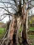 По словам экскурсовода,дереву более тысячи лет,в позапрошлом году в него попала молния,но оно выжило.