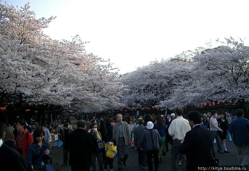 Сакуры в парке Уэно