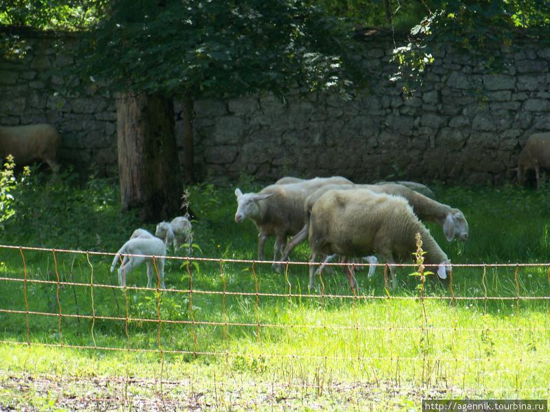 Овцы — именно отсюда их везут в турецкие магазины Баварии