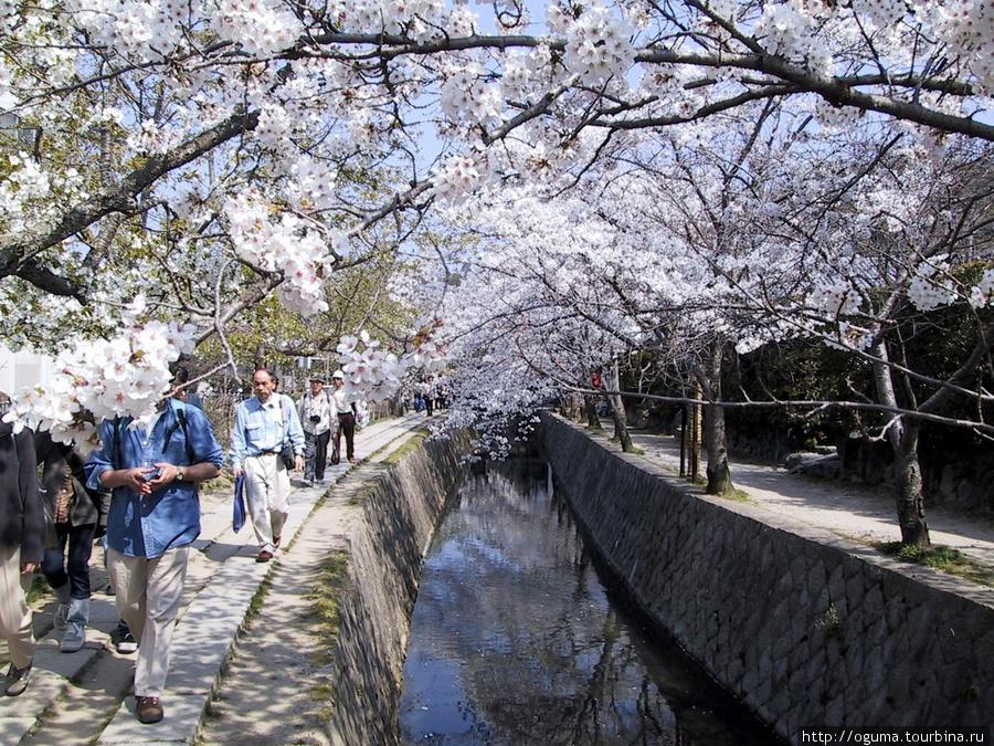 Тетцугаку мичи в Киото. Просто много деревьев сакуры вдоль канала, проход свободный