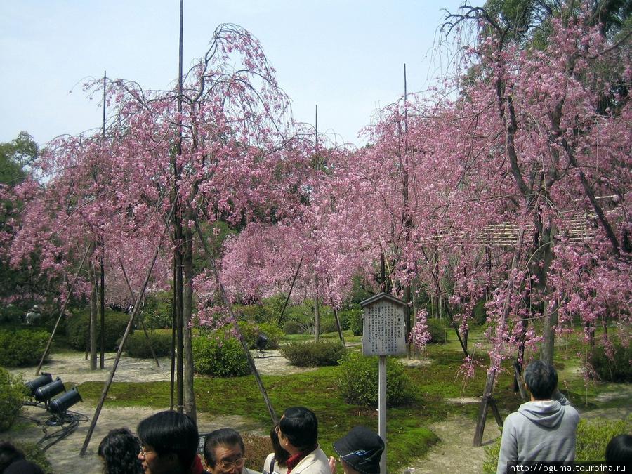 Храм Хэйан, Киото. В нём есть красивый сад сакуры вида