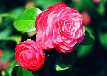 Камелия — цветок нашего города.