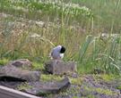 В стороне у машины за мной спокойно следила одна чайка, но ничего не предпринимала, спокойно чистя перышки. Я подумал, не ее малыш...